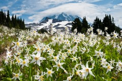 White Avalanche Lily in Spray Park, Mount Rainier National Park, Washington, USA.