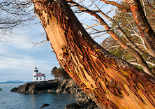 The 1919 Lime Kiln Lighthouse, San Juan Island, Washington, USA. Pacific Madrone or Madrona tree