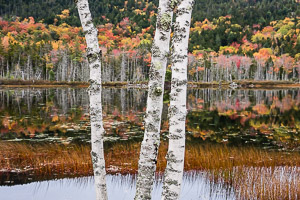 White birch trunks, fall foliage reflection, Upper Hadlock Pond, Acadia NP, Mount Desert Island, Maine, USA.