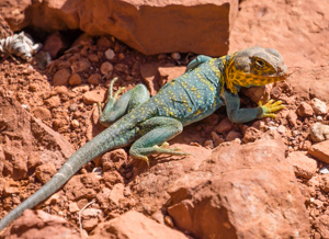 Collared Lizard, genus Crotaphytus, Colorado National Monument, Colorado, USA.