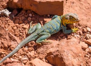 Collared Lizard, genus Crotaphytus, Colorado National Monument, Colorado, USA.