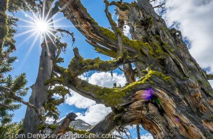 Sun starburst, lichen on twisted tree. Eagle Cap Wilderness, Wallowa Mountains, Oregon, USA.