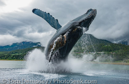 Tahku (2018) breaching humpback whale statue in Overstreet Park, Juneau, Alaska, USA.