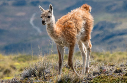 Young guanaco or chulengo, Lagunas Altas Trail, Chacabuco Valley, Patagonia NP, Chile, South America.