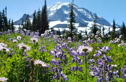 Mid August memorial: lupin & aster flowers in Spray Park, Mount Rainier NP, Washington, USA.