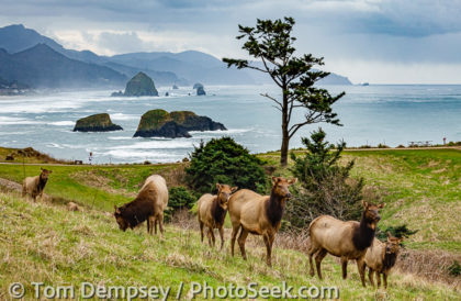 Roosevelt elk in Ecola State Park and sea stacks at Cannon Beach, Oregon coast, USA.