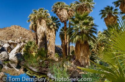 49 Palms Oasis, palm panorama. Joshua Tree National Park, California, USA.